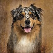 picture of australian shepherd  - Close - JPG