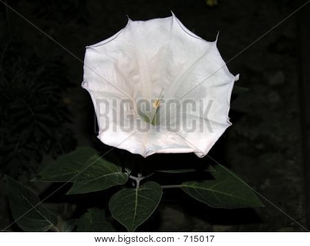 Moonflower At Night