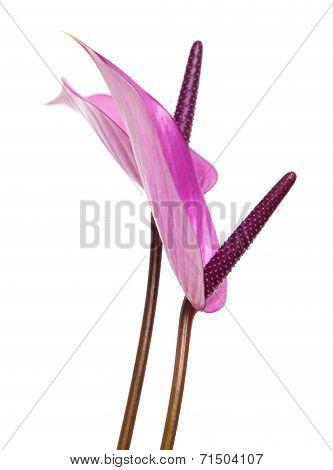 Purple Anthurium