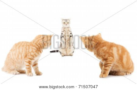 Group Of Little Ginger British Shorthair Cats Over Whtie Background