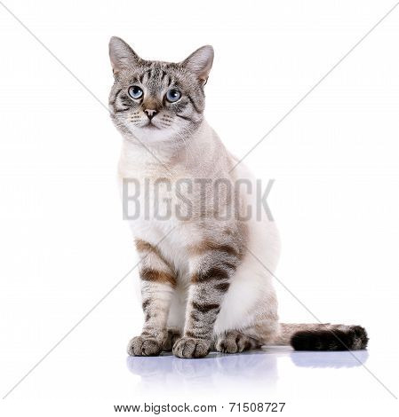 Striped Blue-eyed Cat