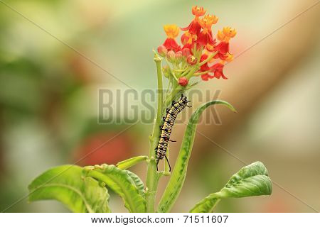 Milkweed flowers and caterpillar