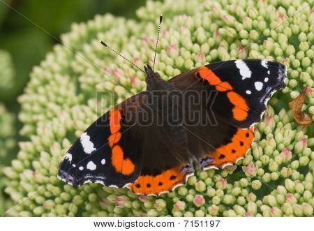 Butterfly Red Admiral On Sedum