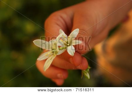 Small baby hand offering a white flower