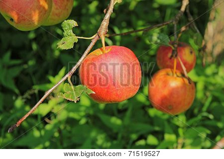 Large Red Apple On Apple Tree Branch