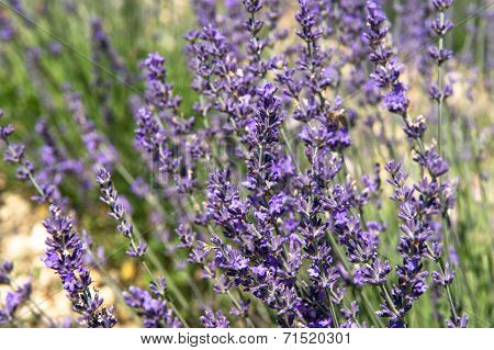 Blossoming Of Lavender Flowers. Nature Background