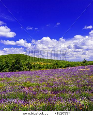 Lavender Field With Beautiful Blue Sky In Provence, France
