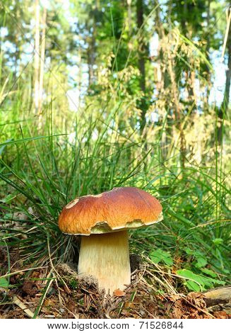 The Porcini (Boletus edulis) - edible mushroom. It is used also in mixed mushroom dishes, fried or steamed.
