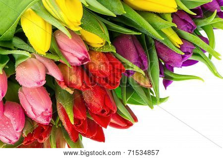 Bouquet Of Multicolor Tulips Over White Background