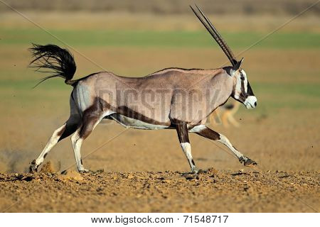 Gemsbok antelope (Oryx gazella) at a waterhole running, Kalahari desert, South Africa