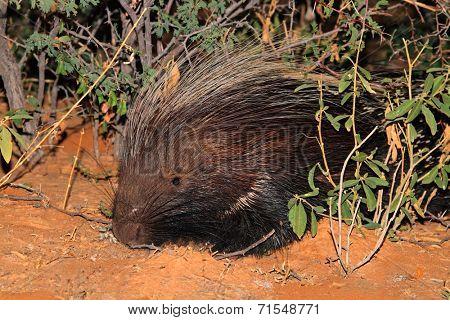 Portrait of a Cape porcupine (Hystrix africaeaustralis), South Africa