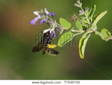 Black Bumble Bee