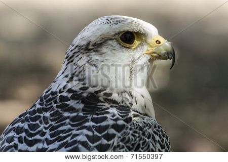 carnivore, beautiful white falcon with black and gray plumage