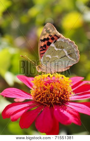 Vanessa cardui butterfly on the flower zinnia