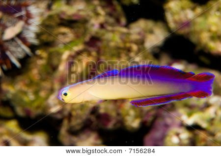 Purple Firefish In Aquarium