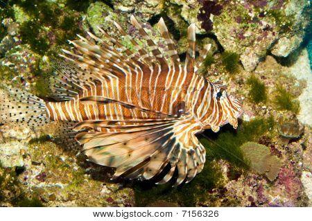 Volitan Lionfish im aquarium