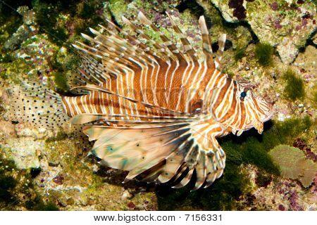 Red Volitan Fish