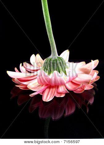 Pink Gerbera Daisy On Black