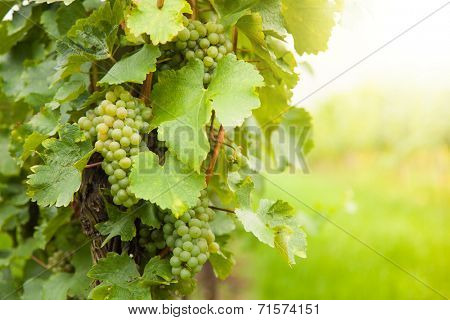 Macro photo of white wine grapes, low depth of focus