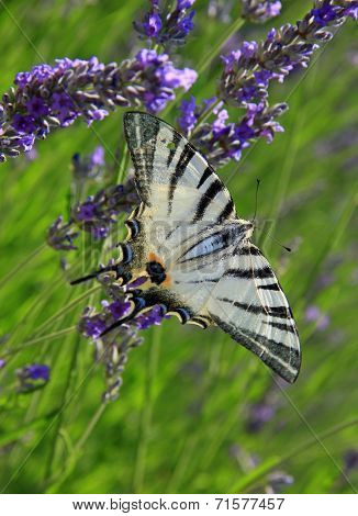 Iphiclides Podalirius Butterfly On Lavender