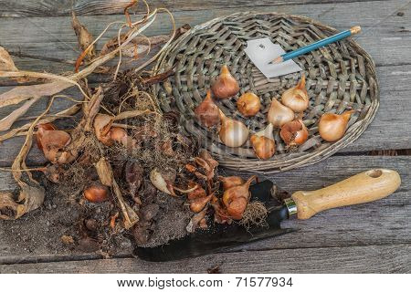 Sort Dug Tulip Bulbs In Size And Sort