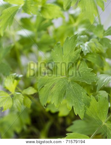 Fresh Lovage Plant