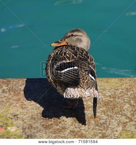 Mallard duck on water background