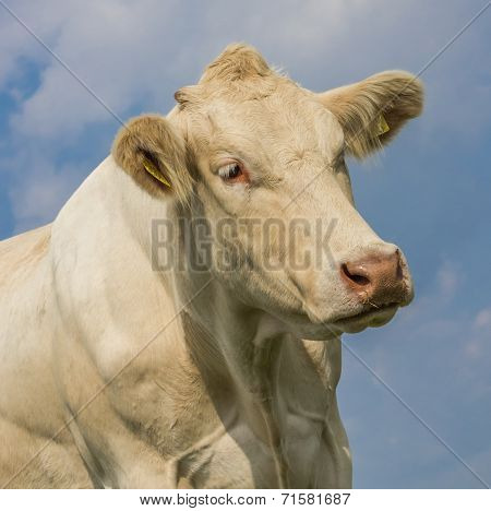 Portrait Of A Blonde D'aquitaine Cow