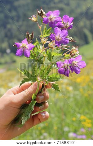 Girls Hand With Little Posy Of Geranium Flowers