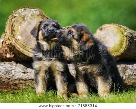 Cute German Shepherd Puppies