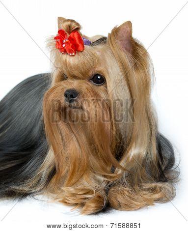 Portrait Of Groomed Yorkshire Terrier