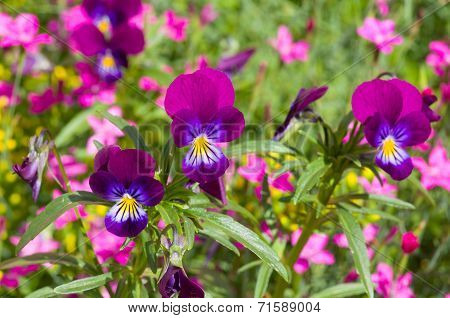 Pansy and other flowers