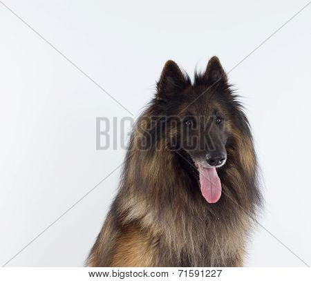 Belgian Shepherd Tervueren headshot