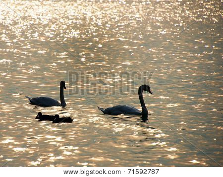 Swans on Balaton Lake, Hungary, Europe