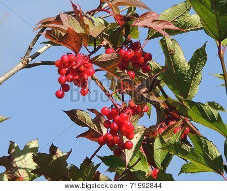 Wild Cranberries on Bush