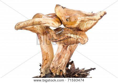 A Mushroom Paxillus