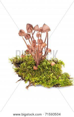 Mushroom Of Mycena