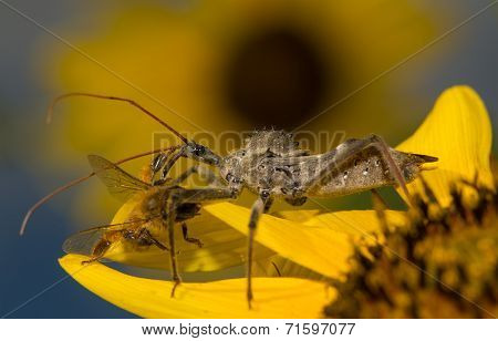 Wheel bug, Arilus cristatus, on a sunflower with prey, eating a small bee