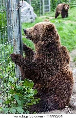 Grizzly Bears In Captivity