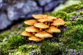 picture of fungus  - Fungus on a tree stump covered with moss
