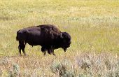stock photo of prairie  - Side view of a single North American Bison  - JPG