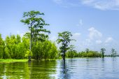 picture of cottonwood  - Cypress reflection in Atchafalaya River - JPG