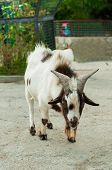 foto of billy goat  - Speckled goat at the zoo in summer - JPG
