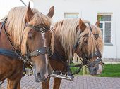 picture of bridle  - two brown horses with beige leather manes and bridles - JPG