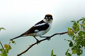 picture of senators  - The woodchat shrike  - JPG