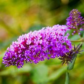 foto of butterfly-bush  - Gorgeous butterfly bush over a green background - JPG