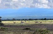 stock photo of kilimanjaro  - Grant - JPG