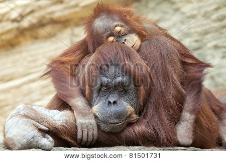 A young orangutan is sleeping on its mother.
