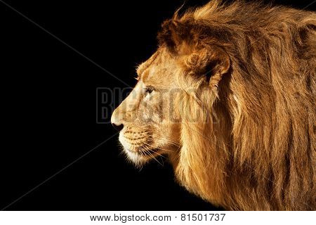 Side face portrait of a beautiful young Asian lion, isolated on black background.