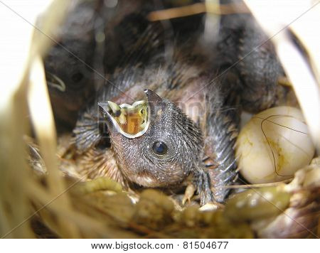 Starfinch juvenile in the nest